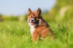 Elo Puppy Sits On A Meadow Royalty Free Stock Image
