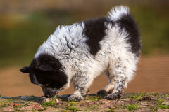 Elo puppy sniffing at dog fecal. Picture of an Elo puppy sniffing at dog fecal Royalty Free Stock Photos