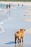 Elo puppy stands at the beach Royalty Free Stock Image
