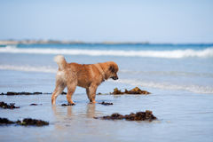 Elo puppy stands at the seafront Royalty Free Stock Photo