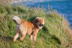 Elo puppy stays at the coast Stock Photo