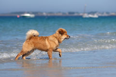 Elo puppy walks at the seafront Royalty Free Stock Photo