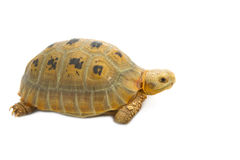 Elogated Totoise (Indotestudo elongata) , Yellow turtlestand Royalty Free Stock Photo