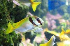Elongate surgeonfish Royalty Free Stock Image