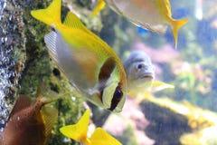 Elongate surgeonfish Stock Image