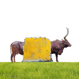Elongated bull. An elongated bull hiding behind a yellow broken brick wall in a grass field, isolated against white stock photo