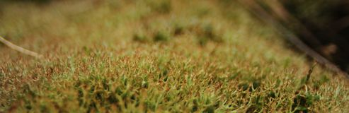 Elongated macro photo of green moss, clearly showing the branched structure stock photo