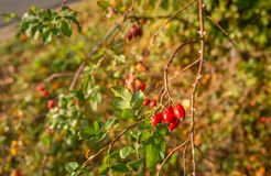 Elongated red rose hips shining in the autumn sunlight royalty free stock images