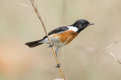 Elongated Stonechat on a grass stalk Stock Images