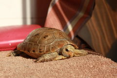 Elongated Tortoise Stock Images
