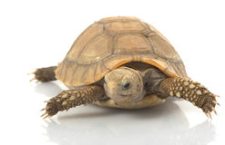 Elongated Tortoise. (Indotestudo elongata) isolated on white background Stock Photography