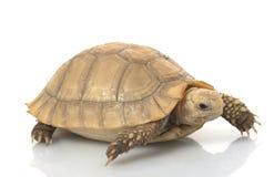Elongated Tortoise. (Indotestudo elongata) isolated on white background Stock Image