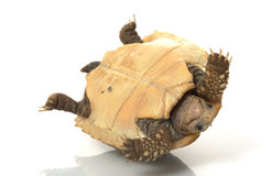 Elongated Tortoise Stock Photos
