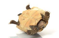 Elongated Tortoise. (Indotestudo elongata) isolated on white background Stock Photos