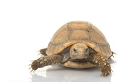 Elongated Tortoise royalty free stock photo