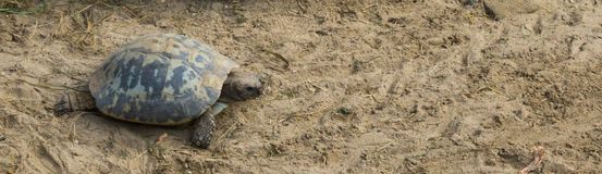 Elongated tortoise crawling through the sand at its own phase, a endangered animal from India stock photo