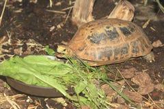 Elongated tortoise Royalty Free Stock Images