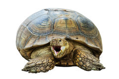 Elongated Tortoise - Indotestudo elongata Royalty Free Stock Photography