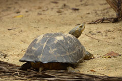 Elongated Tortoise Stock Photography