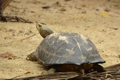 Elongated Tortoise Stock Photo