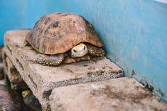 Elongated tortoises in the blue concrete pond Stock Photos