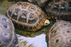 Elongated tortoises in the concrete pond Stock Photo