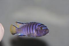elongatusmpangapseudotropheus Fotografering för Bildbyråer