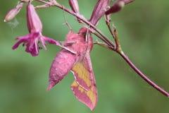Elpenor Deilephila Стоковые Изображения RF