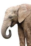 Elphant isolated Royalty Free Stock Photos