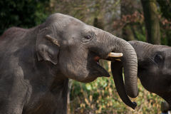 Elphants. A old and young elephant play with each other Stock Images