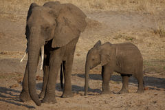 Elphants Stock Photography