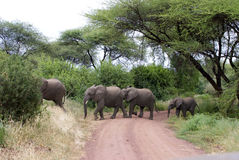 Elphants crossing the road Stock Photo