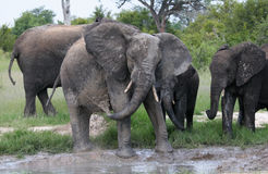 Elphants playing in the mud Royalty Free Stock Images