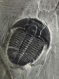 Elrathia kingii Trilobite Royalty Free Stock Images
