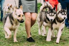 Elsässer-Wolf Dog Or German Shepherd-Hund und zwei Husky Dog Running stockfoto