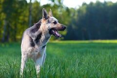 Elsässischer Hund Lizenzfreie Stockbilder