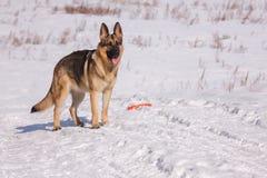Elsässischer Hund auf dem gefrorenen See Stockbild