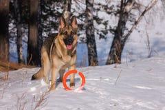 Elsässischer Hund auf dem gefrorenen See Lizenzfreies Stockfoto