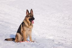 Elsässischer Hund auf dem gefrorenen See Stockfoto