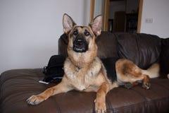 Elsässischer Hund auf Sofa lizenzfreies stockfoto