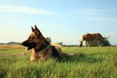 elsassisk hund Royaltyfri Fotografi