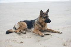 Elsassisk hund som lägger på en strand Arkivbilder