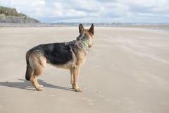 Elsassisk hund som spelar på en sandig strand Royaltyfri Foto