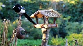 Elster, die Vogelfutter für kleine wilde Vögel stiehlt stock video
