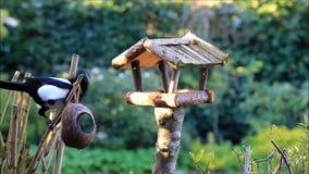 Elster, die Vogelfutter stiehlt stock video footage