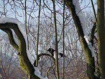 Elster gehockt auf Baumasten im Wald Lizenzfreie Stockbilder