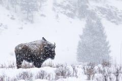 Elster gehockt auf Bison in einem Blizzard Stockfoto