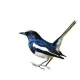 Elster-Robin-Vogel stockbilder