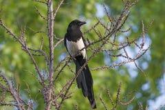 Elstervogel - ein schönes Porträt stockfotografie