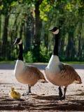 Eltern Kanadas Gosling mit Gänschen Lizenzfreies Stockfoto